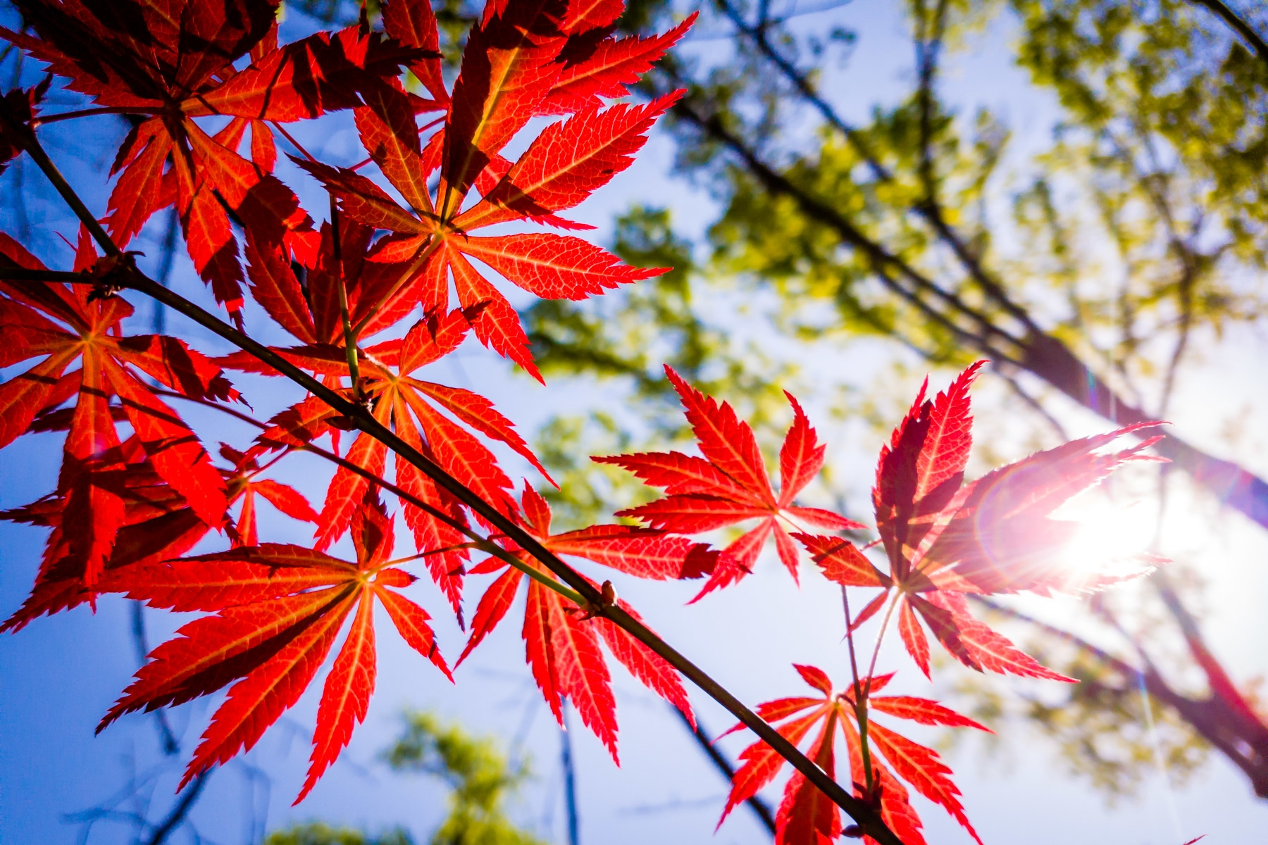 japanese maple leaves sunlight.jpg